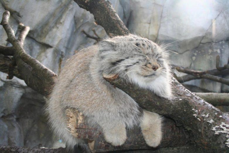 11 диких кошек, уровень милоты у которых просто зашкаливает