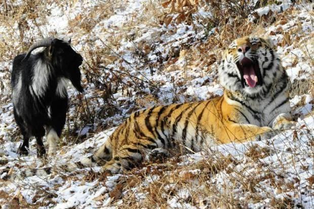 Сотрудники зоопарка отдали на съедение тигру живого козла...