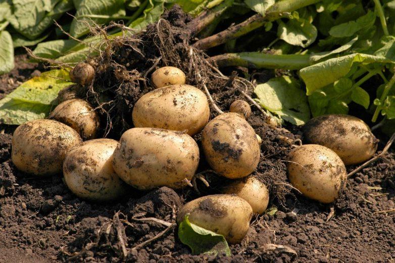 Как отвоевать урожай картофеля у колорадского жука и проволочника