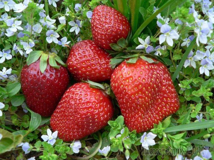 Советы для небывалого урожая клубники