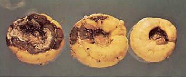 Самые опасные болезни гладиолусов