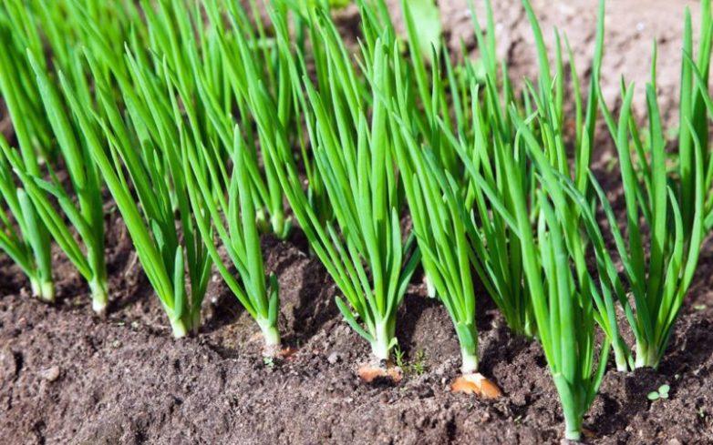 Какие сидераты посадить после снятия урожая лука и чеснока