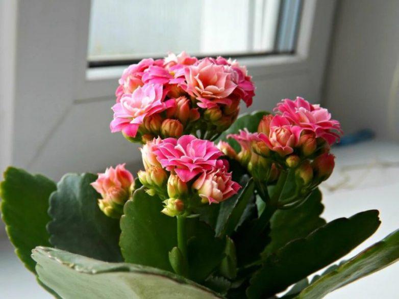 Несложные правила, которые обеспечат обильное цветение каланхоэ
