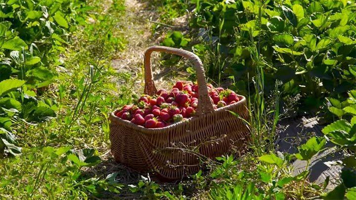 Как позаботиться о будущем урожае клубники в сентябре