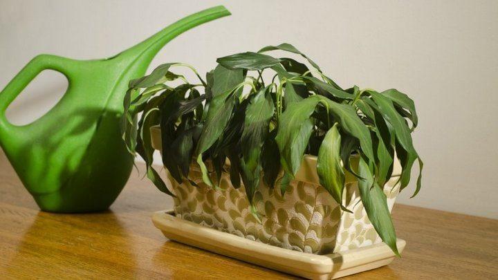 Аптечное средство, которое обладает полезными свойствами для домашних растений