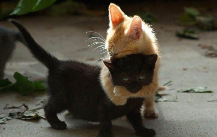 Вопрос на засыпку: почему полностью чёрных котов почти не бывает в природе?