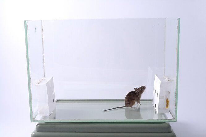 Мыши продемонстрировали исключительные способности к счёту