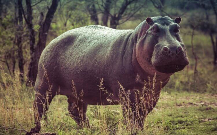 На территории Великобритании найдены останки бегемота, который весил 3 тонны