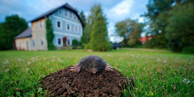 Подземные соседи: как избавиться от кротов на дачном участке