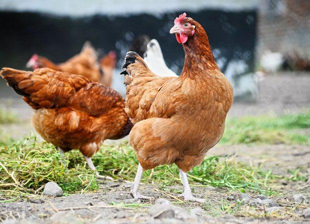 Россиянам запретили разводить на садовых участках сельскохозяйственных животных