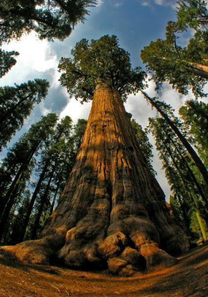 Царапая небо ветвями: самые высокие деревья мира