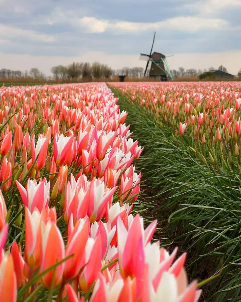 многие картинка города голландия тюльпаны рецепт