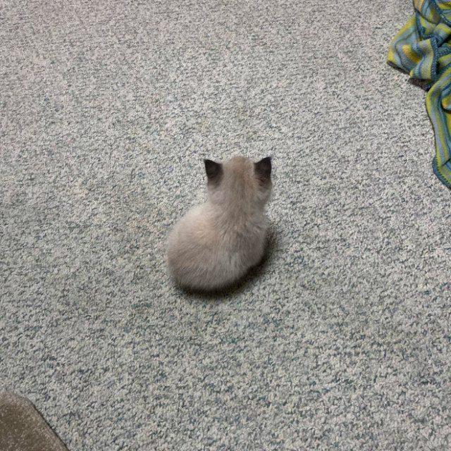"""Очаровательные фотографии """"незаконно маленьких кошек"""""""