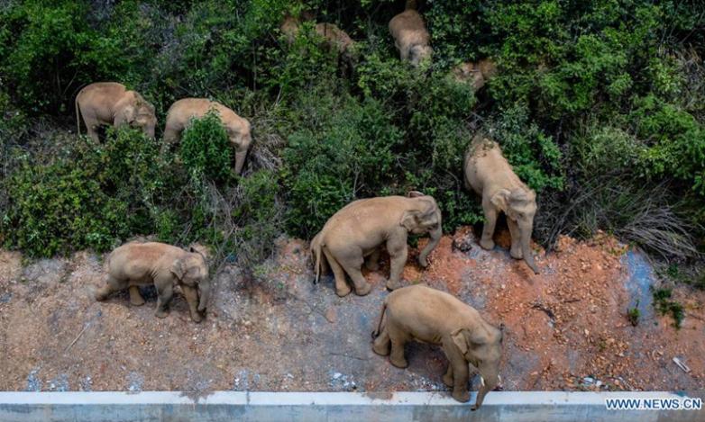Зачем стадо слонов из Китая уже больше года идёт на север?