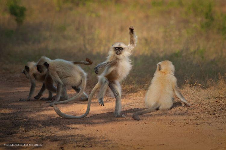 Диких животные, снятые в нужный момент, которые любят подурачиться и знают толк в веселье