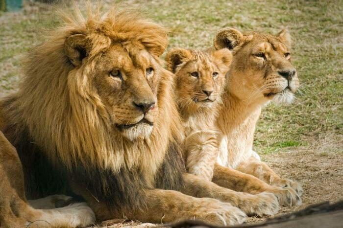Что происходит с царем зверей после изгнания из прайда